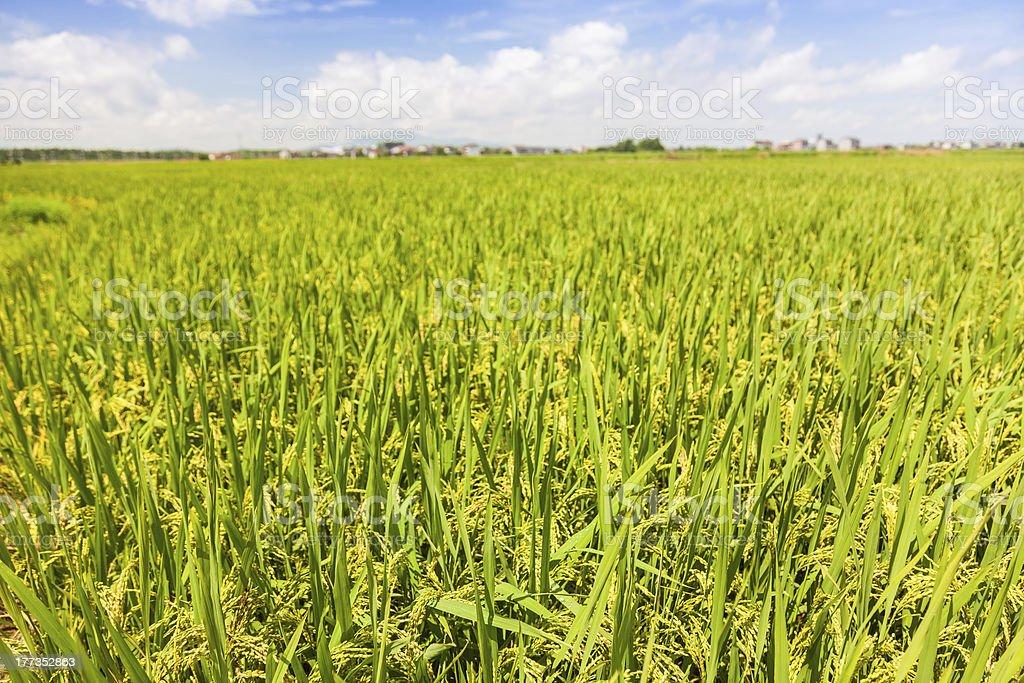 ripe rice under blue sky royalty-free stock photo