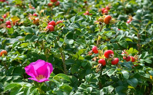 Ripe rose (Rosa) hips and flower on bush in summer