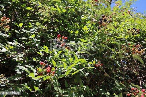 istock Ripe Rubus sectio rubus in summer 1161815416