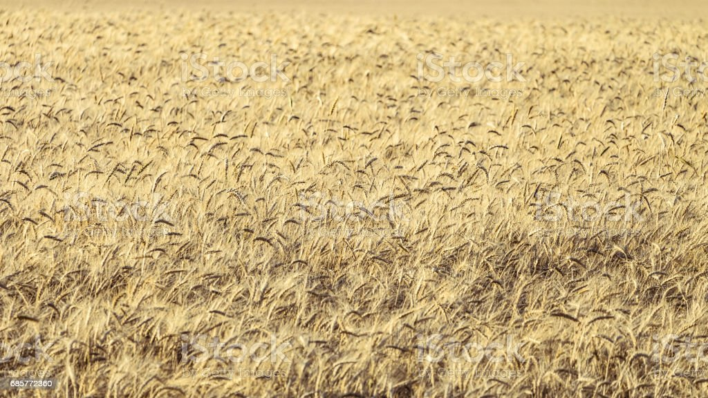 Ripe rye ears. Agricultural background with limited depth of field. royalty-free stock photo