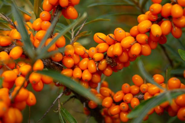 브랜치에서 익은 바다 갈 매 나무속 열매 - 씨벅턴 뉴스 사진 이미지