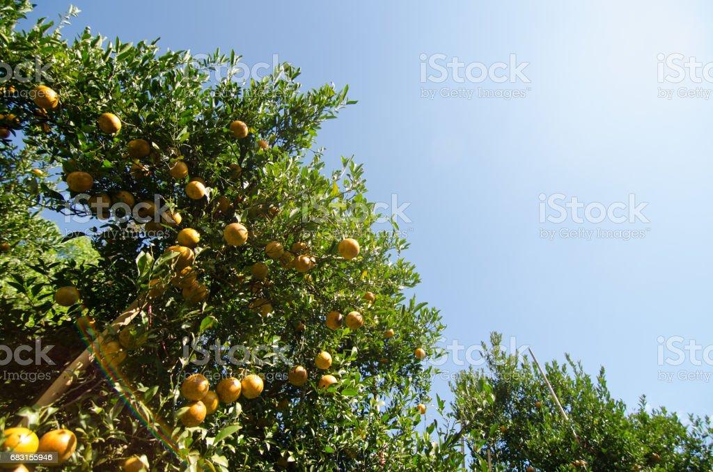 成熟的將軍橙色掛在樹上。柑橘果 免版稅 stock photo