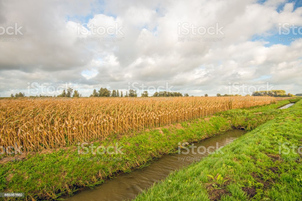 Ripe silage maize ready for harvesting stock photo