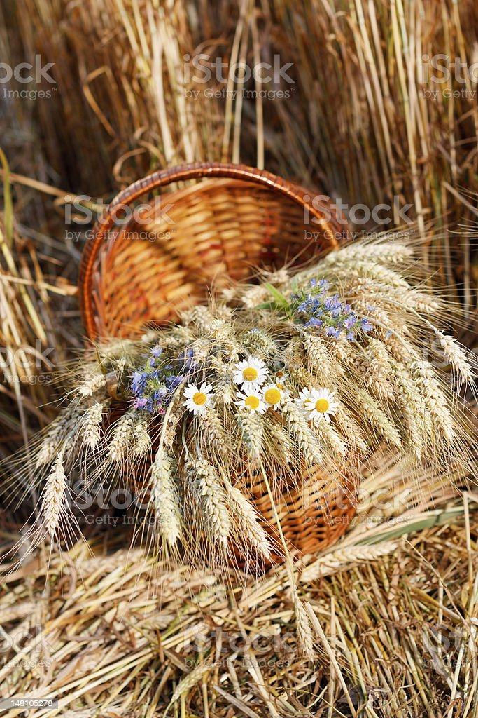 Ripe spikelets of wheat and wild flowers in basket royalty-free stock photo