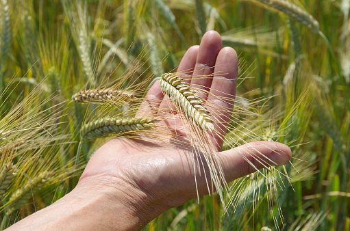 Ripe spikes of rye in hand