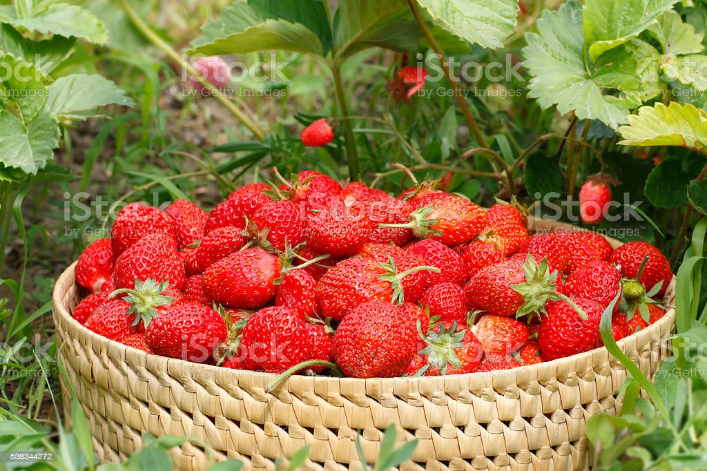 ripe strawberries in the basket in the garden stock photo