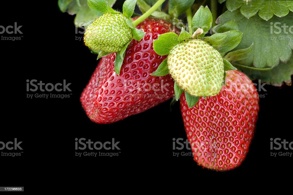 Ripe Strawberries with an Unripe Strawberry in Front royalty-free stock photo