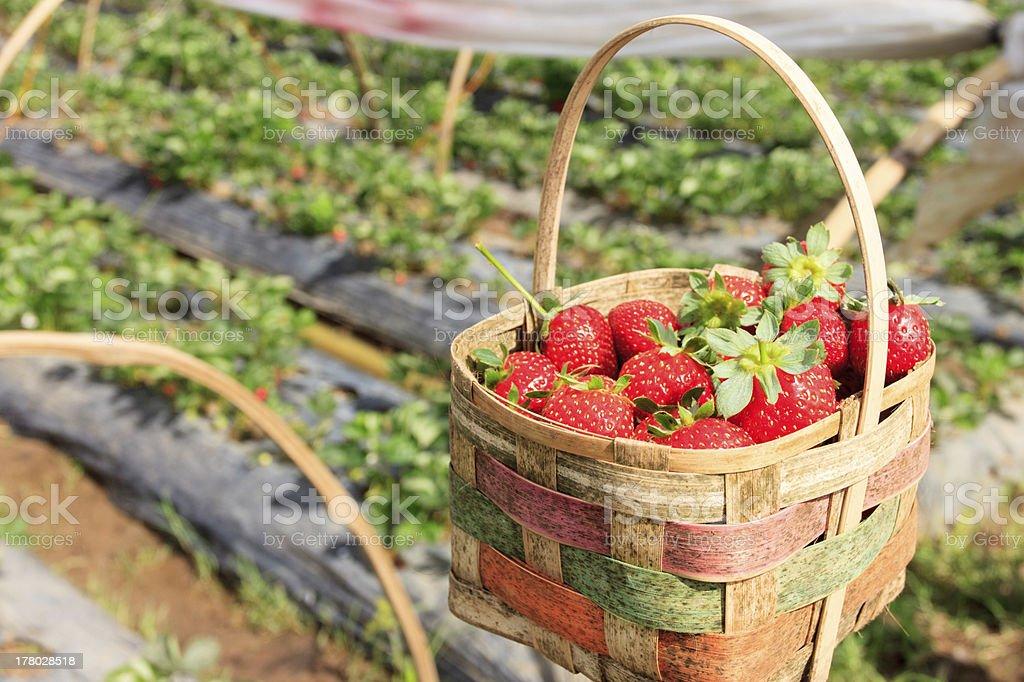 Ripe strawberry inside a basket stock photo