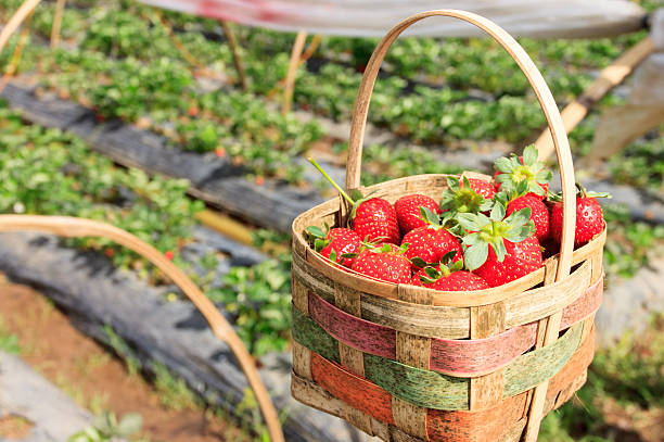 ripe strawberry inside a basket - baguio city stock photos and pictures
