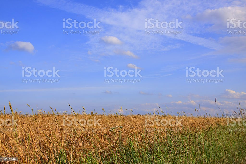 Ripe Summer Wheat And Grass royalty-free stock photo