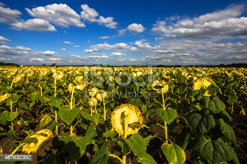 ripe sunflower field in late summer, with blue sky with cumulus clouds. photo is taken with dslr camera and wide angle lens on nice, sunny day in European countryside.