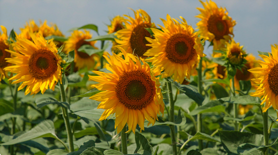 Sunflower plants, blown by the wind, different points of view.