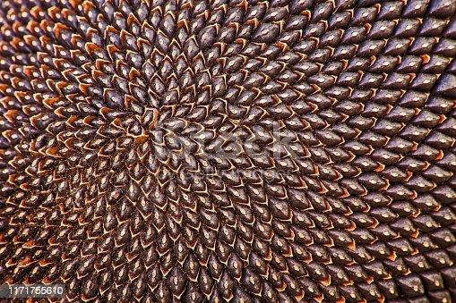 istock Ripe Sunflower Seeds 2 1171755610