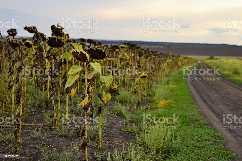 Ripe sunflowers on the field along a rural road stock photo