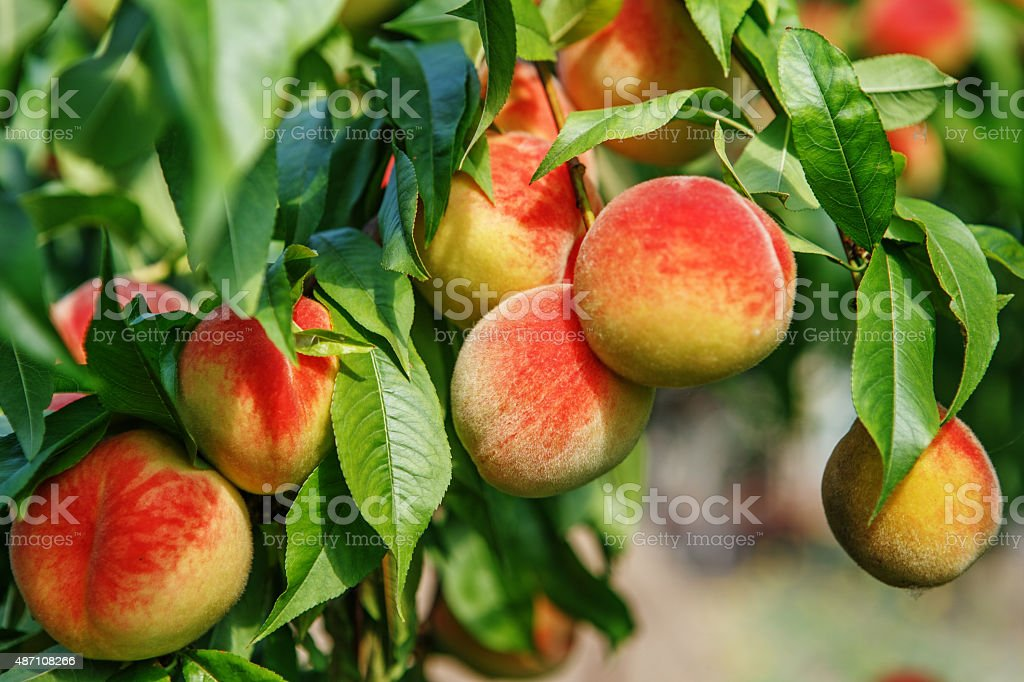 Ripe sweet peach fruits growing on a peach tree branch stock photo