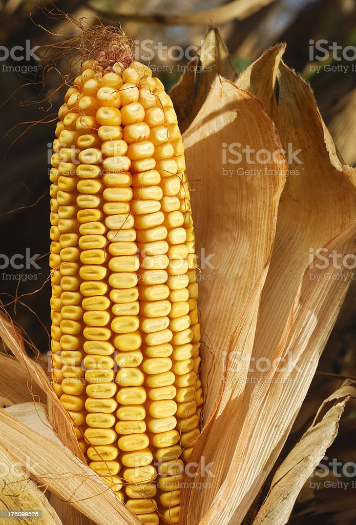 Ripe Sweetcorn (maize) royalty-free stock photo
