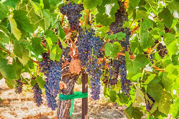 Reife Syrah Trauben In The Vineyard – Foto