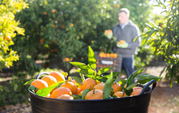 Ripe tangerines in a box in the garden stock photo