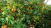 Ripe tangerines on a branch in the garden