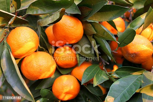 istock Ripe tangerines on branches close up 1193908183