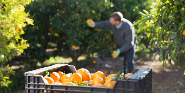 Ripe tangerines on farm with working farmer stock photo