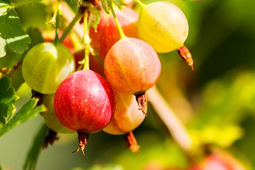 Ripe, tasty, healthy garden gooseberries hang on a branch of a bush.