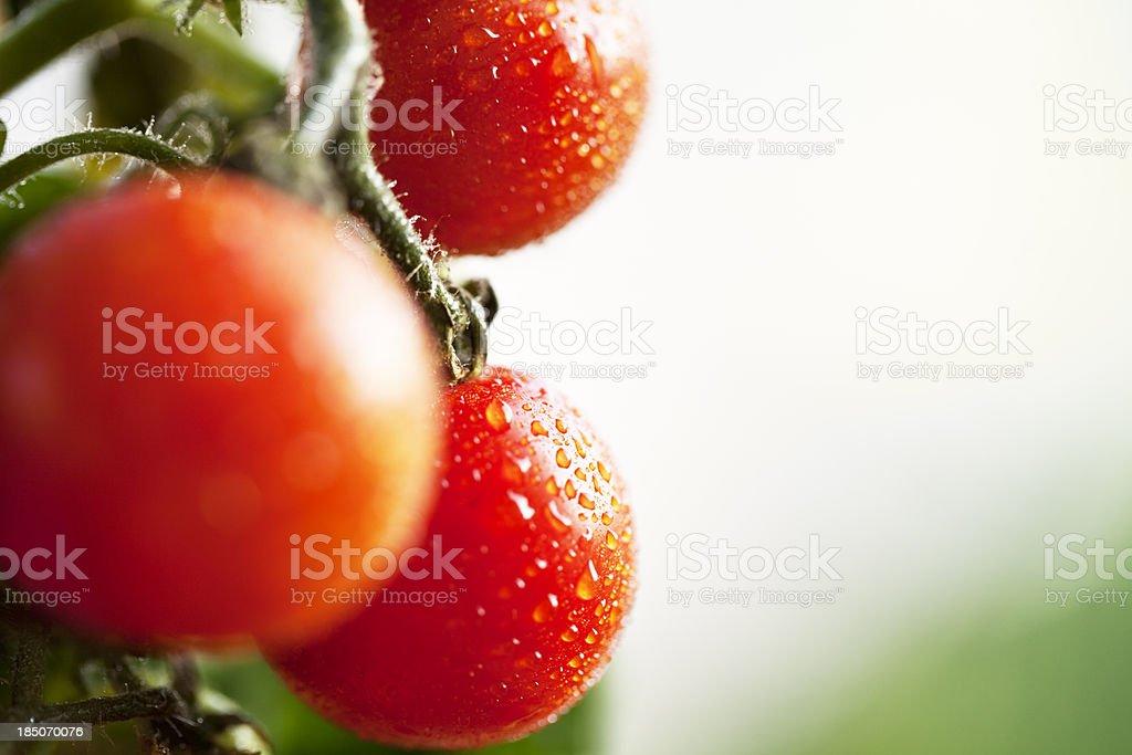 ripe tomato garden drop of water stock photo
