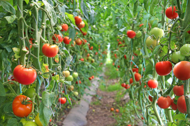 Ripe tomato in a greenhouse, ready for picking Ripe tomato in a greenhouse, ready for picking monoculture stock pictures, royalty-free photos & images