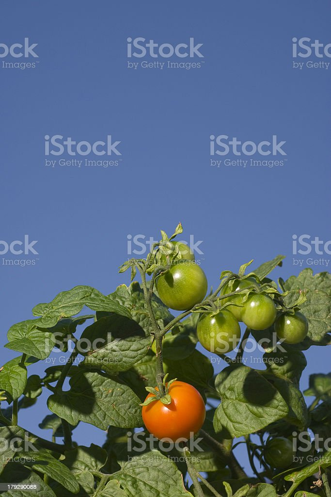 Ripe Tomato royalty-free stock photo