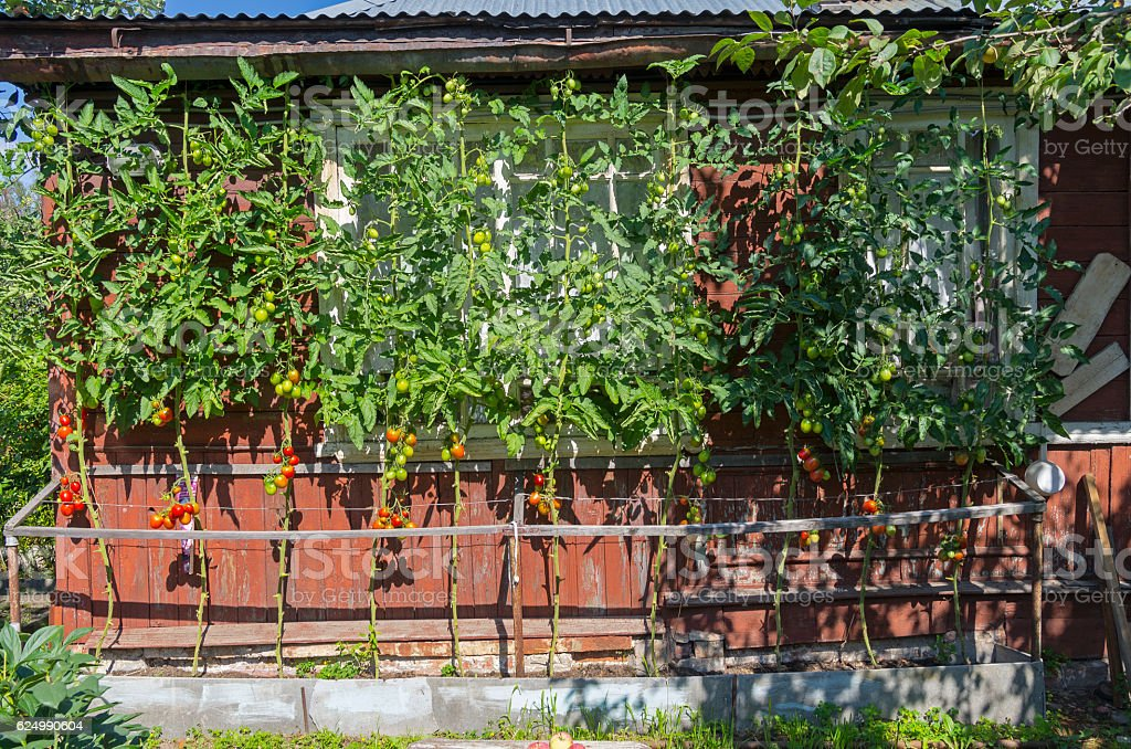 Ripe tomatoes against the wall of a country house. stock photo