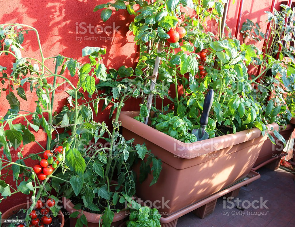 ripe tomatoes and green plant in the terrace of house stock photo