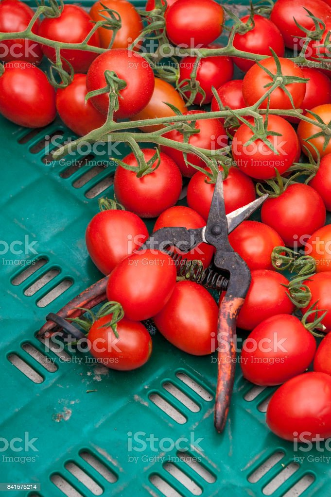 Ripe tomatoes in crate with siccors stock photo