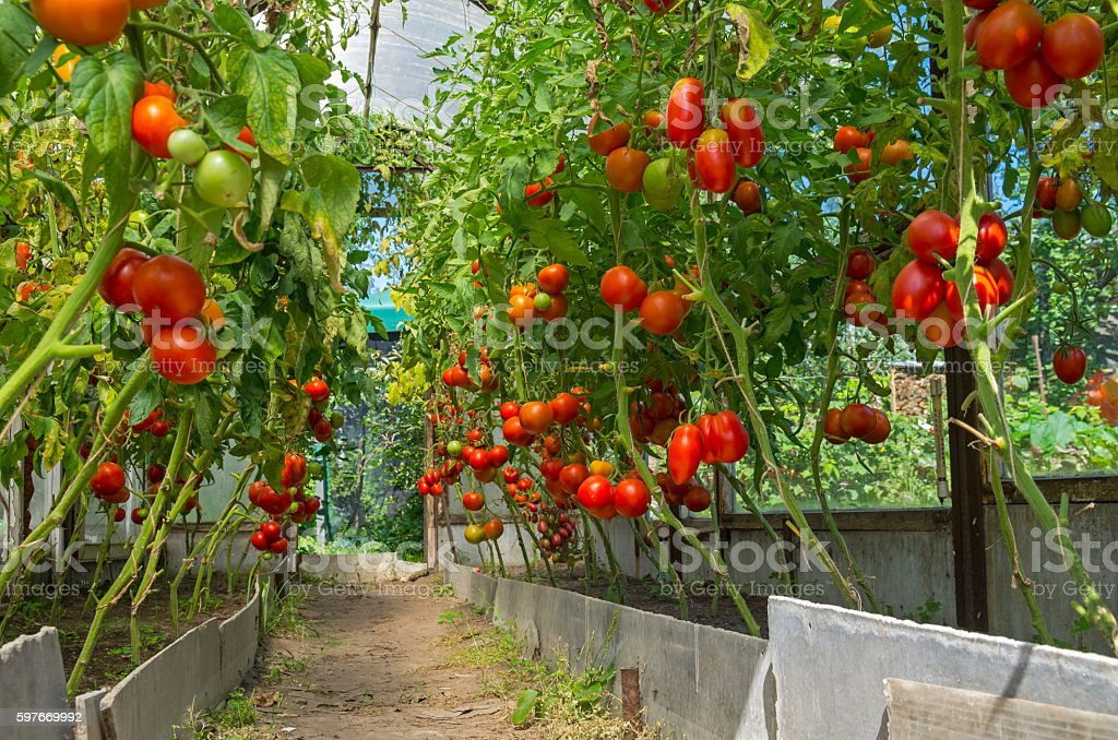 Ripe tomatoes in the greenhouse. stock photo