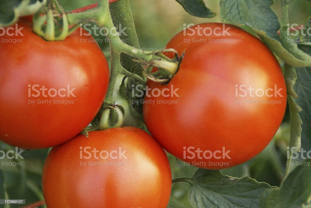 Ripe Tomatoes on the Vine royalty-free stock photo
