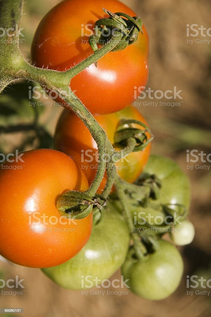 ripe  tomatoes royalty free stockfoto