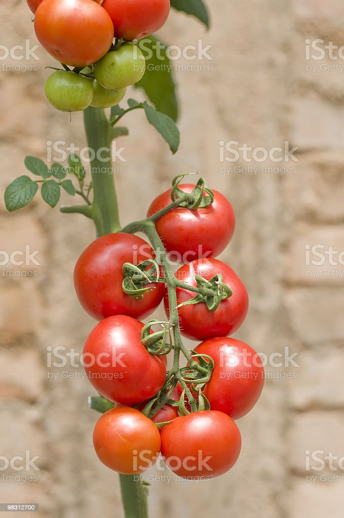 Pomodori maturi pronto per il prelievo foto stock royalty-free