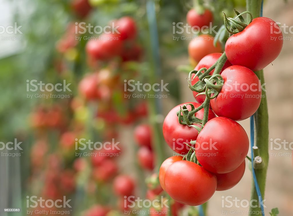 Ripe tomatoes ready for picking royalty-free stock photo