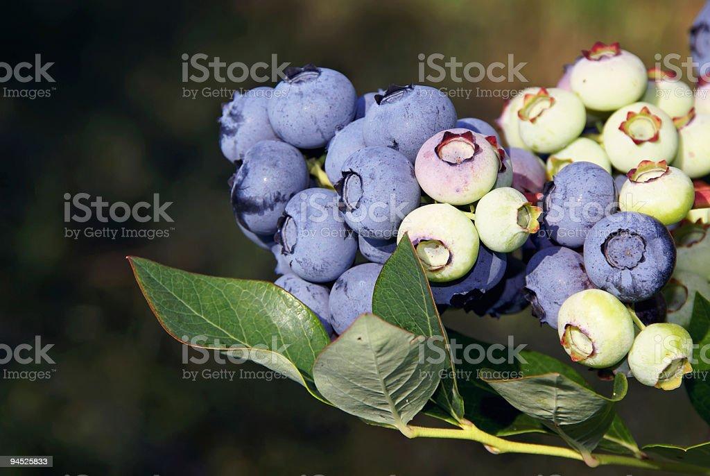 Ripe & Unripe Blueberries royalty-free stock photo