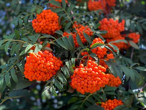 Ripe vibrant orange rowan berries close up