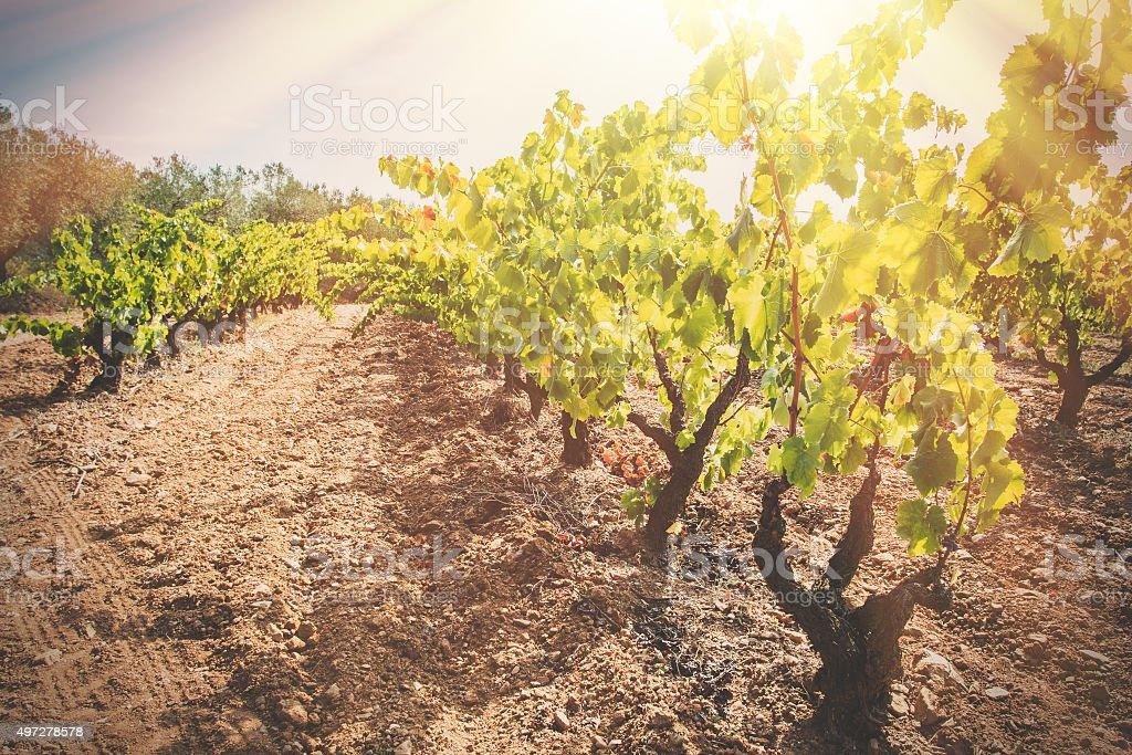 Ripe vineyard stock photo