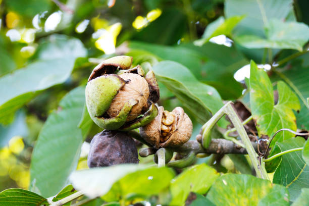 Ripe Walnut seeds hanging on a tree and ready for harvest Ripe Walnut seeds hanging on a tree and ready for harvest walnut stock pictures, royalty-free photos & images