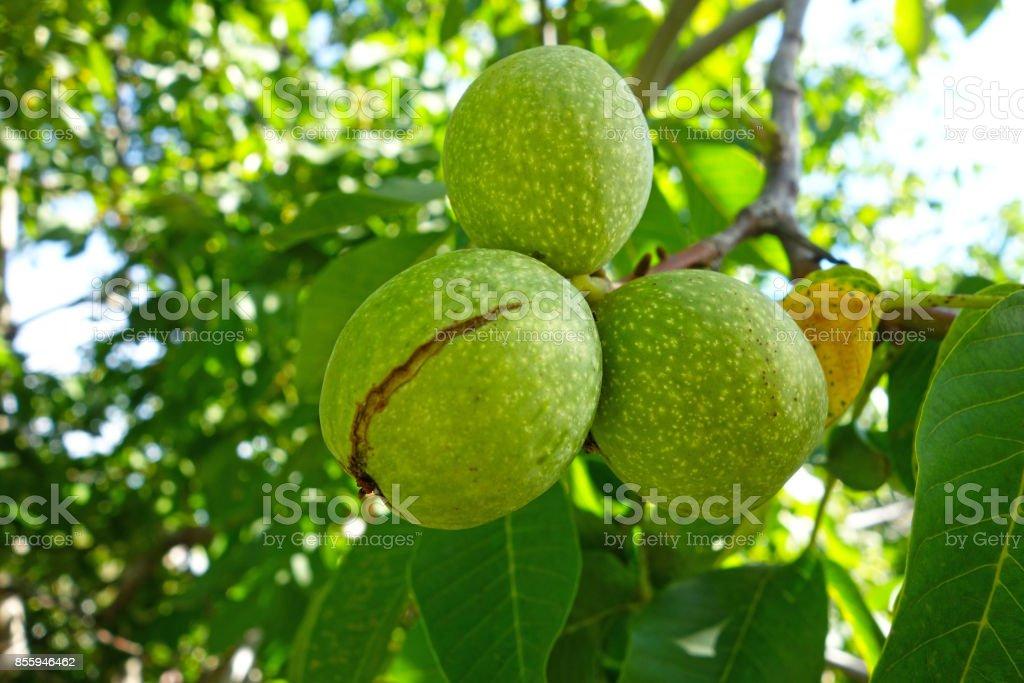 Ripe walnuts on a tree stock photo