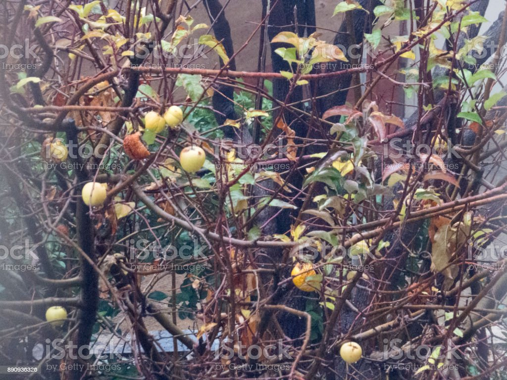 Ripe Wet Apples on the tree branch in rainy day stock photo