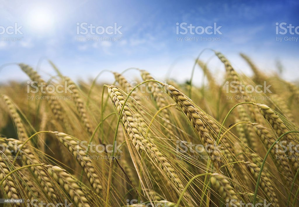 ripe wheat close up against blue sky royalty-free stock photo