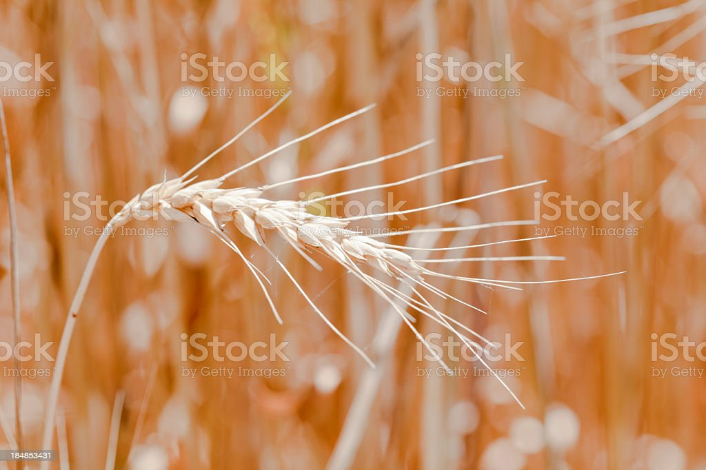 Ripe Wheat Close-up with Background Blurred stock photo