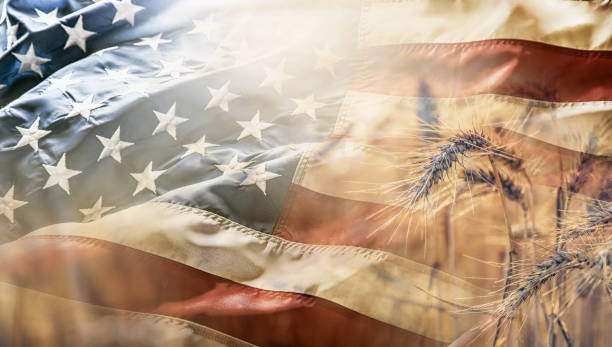 Ripe wheat cobs at sunset with american flag in the background. stock photo
