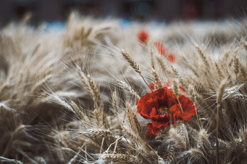 Ripe wheat crop with the flower of poppy among