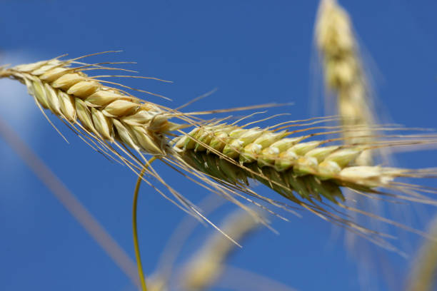 空に対して熟した小麦の耳 ストックフォト