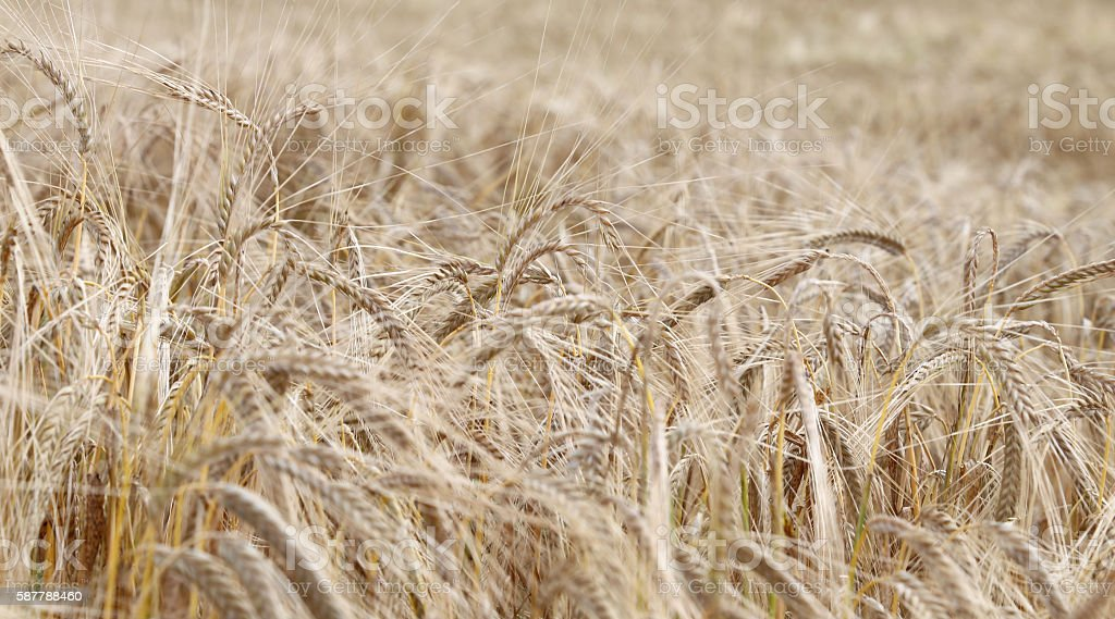 ripe wheat ears in the field in summer stock photo