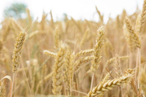 Ripe wheat in the field stock photo